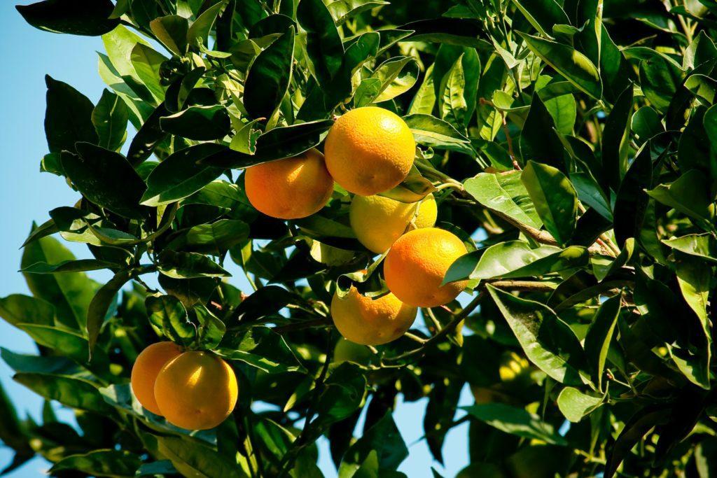 Des citrons dans un citronnier